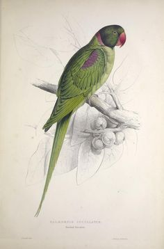 Illustrations of the family of Psittacidœ, or parrots : - Biodiversity Heritage Library