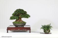 Studio photos from Bonsai Europa 2015 | Bonsai & Yamadori from Tony Tickle