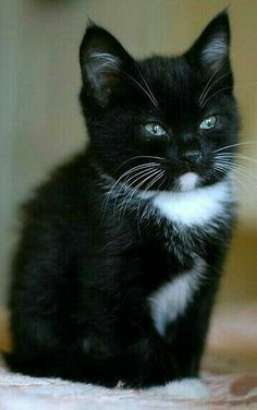 I love black and white cats and kittens. Cute Cats And Kittens, I Love Cats, Crazy Cats, Kittens Cutest, Funny Kittens, Ragdoll Kittens, Tabby Cats, Bengal Cats, Siamese Cats