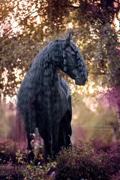 Friesian horse. Katrin Buttkau Horse Photography.