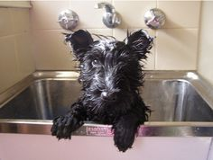 Scottish Terrier grooming - a Scottish Terrier puppy's first bath