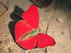 https://flic.kr/p/dkqoN2 | Cymothoe hobarti | Cymothoe hobarti - Red Glider butterfly Kibale Forest, Uganda
