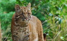 Felidae - Felinae - Pardofelis - P. temminckii (Asian Golden) : O Gato Bravo Dourado da Ásia ([i]Pardofelis temminckii[/i], antes [i]Catopuma temminckii[/i]), também conhecido como Gato Dourado Asiático e Gato Dourado de Temminck, é um gato selvagem de médio porte do sudeste asiático.   Em 2008, a União Internacional para a Conservação da Natureza e dos Recursos Naturais o classificou como quase ameaçado de ...