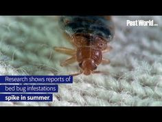 Contact with bed bugs spikes during the summer season when people are frequently traveling. Learn how to avoid bed bugs while traveling by watching this video. Bed Bugs, Spikes, Traveling, Summer, People, Cnd Nails, Viajes, Summer Time, Studs