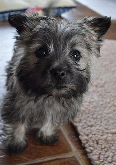 1, 2, 3…Puppies! | Tasha Does Tulsa - Cairn Terrier