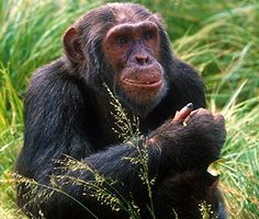 Applause for US Fish and Wildlife's long overdue chimpanzee proposal!