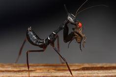 primera muda mantis - Buscar con Google