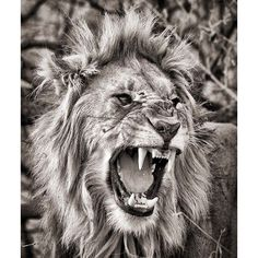 """Madikwe Lion in monochrome. #WildlifePhotography #Monochrome #Madikwe #SouthAfrica #PrivateGuide #PhotoSafari"" Photo taken by @gerryvanderwalt on Instagram, pinned via the InstaPin iOS App! http://www.instapinapp.com (09/13/2015)"