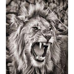 """Madikwe Lion in monochrome. #WildlifePhotography #Monochrome #Madikwe #SouthAfrica #PrivateGuide #PhotoSafari"" Photo taken by @gerryvanderwalt on Instagram, pinned via the InstaPin iOS App! http://www.instapinapp.com (09/13/2015)"
