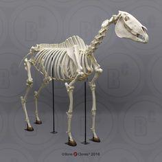 Articulated Horse Skeleton - Bone Clones, Inc. Horse Anatomy, Animal Anatomy, Horse Skull, Horse Art, Animal Skeletons, Animal Skulls, Skeleton Bones, Skull And Bones, Skeleton Drawings