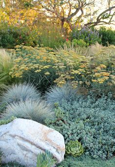 Achillea millefolium Common Yarrow Gorgeous Blue Oat Grass vogue Los Angeles Contemporary Landscape Decorating ideas with boulder drought tolerant dry garden flowers meadow ornamental grasses palos verdes succulents Drought Resistant Plants, Drought Tolerant Landscape, Drought Resistant Landscaping, Contemporary Landscape, Landscape Design, Desert Landscape, Landscape Architecture, Contemporary Design, Blue Oat Grass