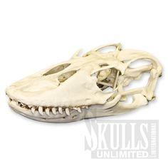 Komodo Dragon Skull (Varanus komodoensis) | WBC-027