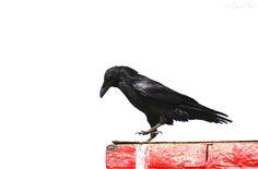 'Crow on a wall' by Jesse Alveo c.