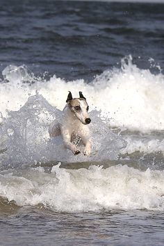 **Whippet in the Waves I Love Dogs, Cute Dogs, Jack Russells, Dog Beach, Beach Fun, Dog Carrier, Dog Sweaters, Am Meer, Italian Greyhound