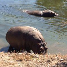 """Manolito y Margarita los Hipopótamo de Selwo Aventura en la """"Reserva del Masai Mara"""" la nueva instalación"""