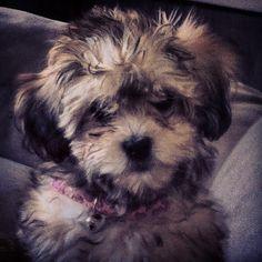 The Cutie Cute - Mishka :)  (shihpoo - 12 weeks)