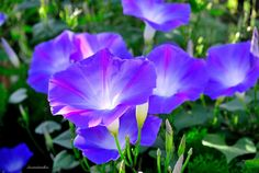 Heavenly Blue Morning Glory by Seawindwindkiss on DeviantArt Morning Glory Flowers, Blue Morning Glory, Yellow Flowers, Wild Flowers, Barber Tattoo, Outdoor Spaces, Different Colors, Orchids, Scenery