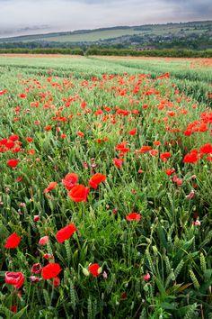 Poppies in Kent, UK by Stephen Mole