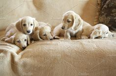 Beautiful family of blonde miniature Dachshund puppies. The blond color is known as English Cream. Cream Dachshund, Dachshund Puppies, Dachshund Love, Puppies And Kitties, Doggies, Kittens, Paws And Claws, Cute Little Animals, Baby Animals