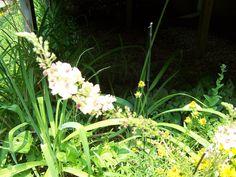 Mullein in the F garden.