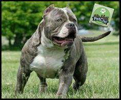 Raza AMERICAN BULLY, descubre más sobre tu mascota en nuestra wiki especializada. (Próximamente disponible) www.petcivi.com/