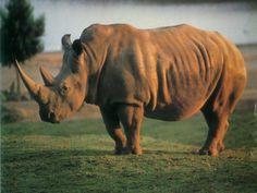 El rinoceronte está en peligro de extinción por la caza furtiva y si no actuamos ahora podría desaparecer para siempre ~ La visión real del mundo