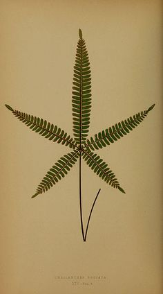 Ferns reference book 1856-60 | Cheilanthes Radiata