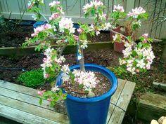 Pacific Groves Ultra Dwarf Anna Apple