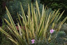 Back raised bed: NZ flax Phormium 'Apricot Queen': Delivery by Crocus.co.uk