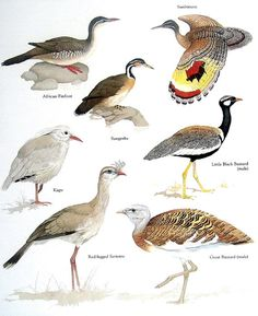 Items similar to Birds African Finfoot, Sunbittern, Kagu, Great Bustard Vintage Bird Book Plate Page on Etsy Animal Species, Bird Species, Animal Dictionary, Bird Identification, World Birds, Bird Book, Bird Illustration, Watercolor Animals, Colorful Birds