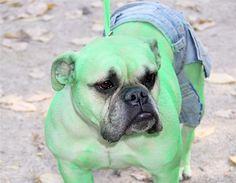 Un perro disfrazado del Increíble Hulk