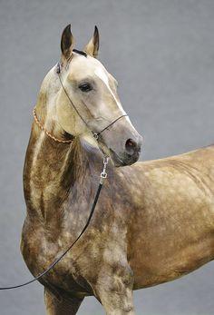 Tauro is a Buckskin Akhal-Teke stallion. - from DACOR Akhal- Teke stud farm