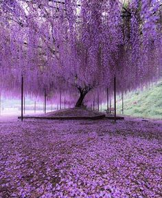 Nature Photography - Purple carpet of blooming Wisteria petals Hyogo, Japan. Photo by Wisteria Tree, Purple Wisteria, Purple Trees, Wisteria Japan, Wisteria Tunnel, Purple Flowers, Beautiful Flowers, Beautiful Places, Beautiful Pictures