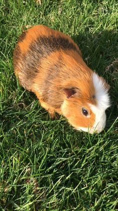 Read about our experience and veterinary treatment in nursing our pet guinea pig back to health after a cheek abscess. Diy Guinea Pig Cage, Guinea Pig Food, Pet Guinea Pigs, Guinea Pig Care, Pet Pigs, Guinea Pig Breeding, Guniea Pig, Cute Kawaii Animals, Exotic Pets