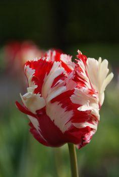 Historische bloembollen - Tulpen estalle rijnveld?