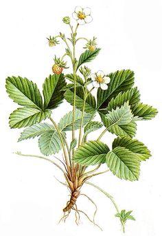 Fragaria Vesca -Family Rosaceae - Common Names - Wild Strawberry, Alpine Strawberry, Fraise des Bois.