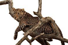 Leopard at Samburu National Reserve, Kenya