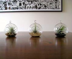 Air Plants!
