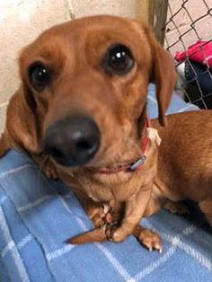 Dachshund dog for Adoption in Ventura, CA. ADN-698391 on PuppyFinder.com Gender: Female. Age: Young