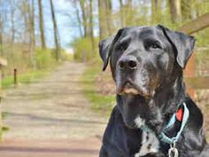 JUSTICE is an adoptable Labrador Retriever Dog in Pittsburgh, PA. Justice belongs in a Norman Rockwell painting. This all-American black Lab is happy, relaxed, mellow, friendly, and very easygoing. Ju...