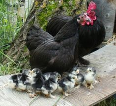 the family-bantam cochin chickens. Bantams are smaller chickens. Cochin chickens are known for being friendly, and being good parents. Farm Animals, Animals And Pets, Cute Animals, Wild Animals, Beautiful Chickens, Beautiful Birds, Beautiful Family, Simply Beautiful, Hen Chicken