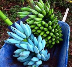 Blue Java banana The Blue Java is a hardy, cold tolerant banana cultivar known for its sweet aromatic fruit which is said to have an ice cream like consistency and flavor reminiscent of vanilla. Bonsai Garden, Garden Trees, Fruit And Veg, Fruits And Veggies, Vegetables, Fruit Trees, Trees To Plant, Banana Seeds, Aqua Farm