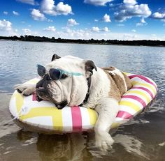 You've got that summertime feeling! #english #bulldog #englishbulldog #bulldogs #breed #dogs #pets #animals #dog #canine #pooch #bully #doggy #summer