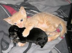 ginger foster kitten named Cheech was introduced to a teeny tiny five-day old orphaned chihuahua puppy named Casanova.