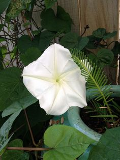 My stunning first moonflower