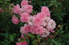 The Fairy Rose - hybrid musk