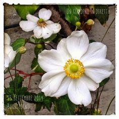 In diretta dal giardino: Anemone giapponese (Anemone japonica) Buongiorno giardinieri! #giardino #giardinoindiretta #fiori