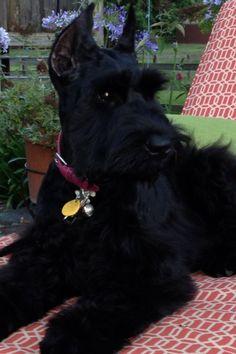 Giant Schnauzer puppy, Sadie
