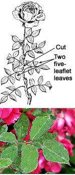 roses garden care Gardening Tips - How to Deadhead Roses Farm Gardens, Outdoor Gardens, Container Gardening, Gardening Tips, Deadheading Roses, Pruning Roses, Rose Care, Sun Loving Plants, Growing Greens