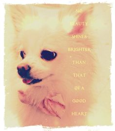 """""""No beauty shines brighter than that of a good heart."""" Poo the Dog -xoXoxo- Pink puppy dog clothes apparel collared shirt smile white teeth fur animal happy small Pomeranian"""